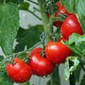 Pianta di pomodori (photo credit pixabay.com)