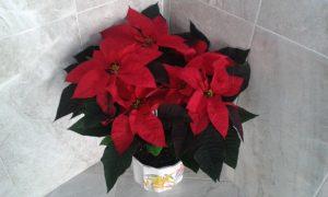 Stella di Natale ©