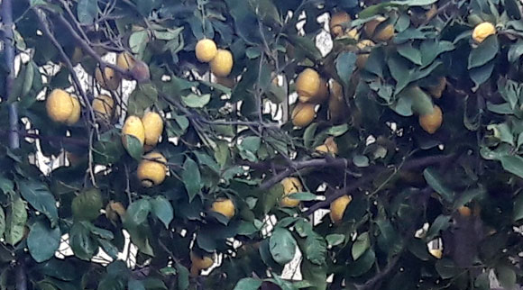 Pianta di limone ©