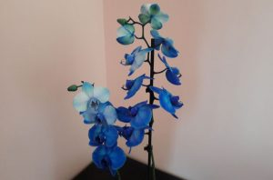 Orchidee blu ©